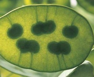 Silberblatt - Lunaria Annua