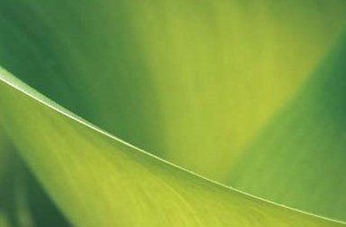 Sumpf Kalla - Calla Palustris