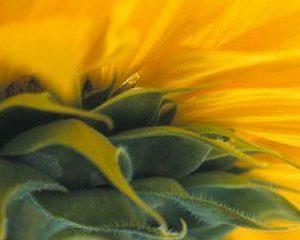 Sonnenblume-Postkarte_061