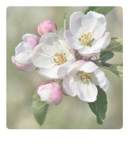 Apfelblueten-Polaroidkarte_Pola03