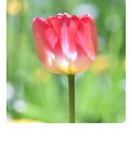 rote-Tulpe-Polaroidkarte_Pola07
