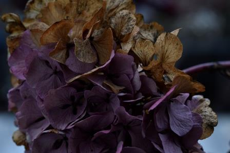 Herbsthortensie-Postkarte_271