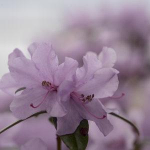 Rhododendron-Postkarte_307