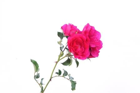 Rose-pink-Postkarte_319
